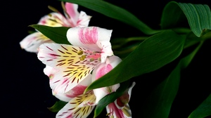 Preview wallpaper alstroemeria, black background, close-up, flower, leaf