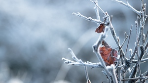 Preview wallpaper branches, hoarfrost, leaves, macro, winter
