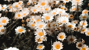 Preview wallpaper chamomile, field, flowering, glade, petals
