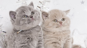 Preview wallpaper british, couple, cute, kittens