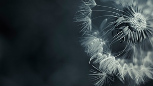 Preview wallpaper dandelion, feathers, flower, plant, seeds