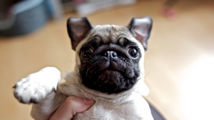 Preview wallpaper baby, dog, eyes, face, pug