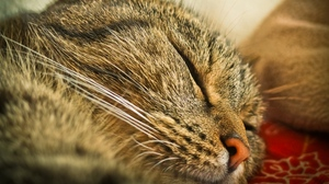 Preview wallpaper cat, close-up, face, sleeping