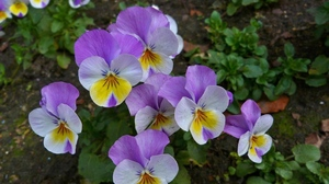 Preview wallpaper close-up, flowerbed, flowers, green, pansies