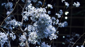 Preview wallpaper branches, flowering, spring