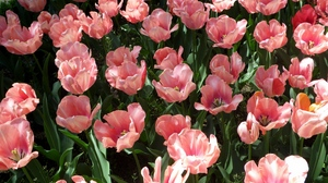Preview wallpaper flowers, loose, pink, sunny, tulips