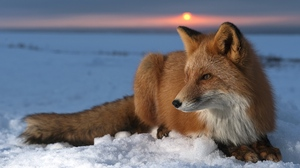 Preview wallpaper care, fox, hunting, sky, snow