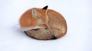 Preview wallpaper curl up, down, fox, sleep, snow