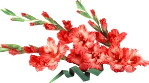 Preview wallpaper buds, flowers, gladiolus, red
