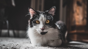 Preview wallpaper animal, cat, fluffy, glance, pet
