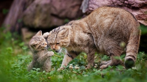 Preview wallpaper caring, cat, grass, kitten, playful, walk