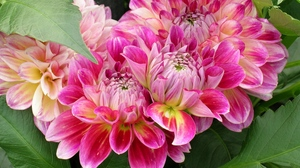 Preview wallpaper dahlias, flowers, leaves, loose