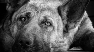 Preview wallpaper black white, dog, look, muzzle, sadness
