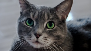 Preview wallpaper cat, green-eyed, muzzle