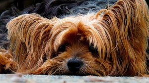 Preview wallpaper dog, muzzle, shaggy, yorkshire terrier