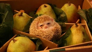 Preview wallpaper box, funny, hedgehog, pears
