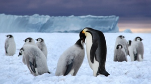 Preview wallpaper black, ice, pack, penguins, snow, white
