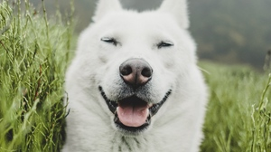 Preview wallpaper dog, funny, grass, pet, protruding tongue, white
