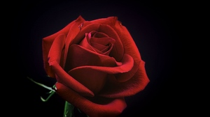 Preview wallpaper black background, bud, petals, red, rose