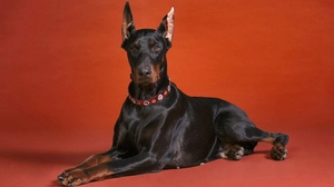Preview wallpaper doberman, dog, dog collar, lying, photos