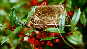 Preview wallpaper berry, branches, nest, red, summer