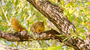 Preview wallpaper animal, branches, foliage, rodent, squirrel, tree