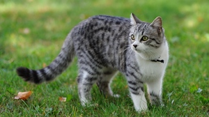 Preview wallpaper cat, grass, spotted, walk