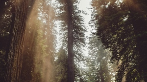 Preview wallpaper fog, forest, rays, sunlight, trees