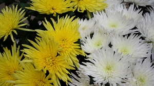 Preview wallpaper chrysanthemums, close-up, flowers, white, yellow