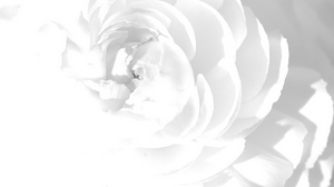 Preview wallpaper bright, flower, petals, white rose