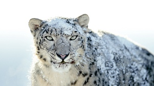 Preview wallpaper anger, face, look, powdered, snow, snow leopard