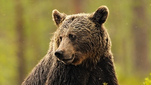 Preview wallpaper background, beautiful, brown bear, face