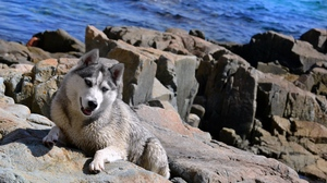 Preview wallpaper beach, dog, husky, rocks, sea