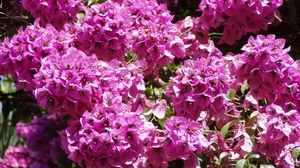 Preview wallpaper bougainville, branch, close-up, flowering