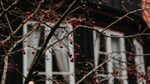 Preview wallpaper berries, branches, house, red, wet
