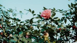 Preview wallpaper bush, flower, pink, plant, rose