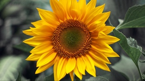 Preview wallpaper close-up, sunflower, sunny