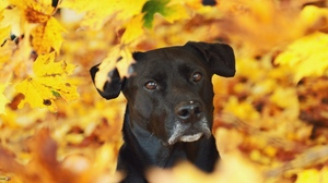 Preview wallpaper dog, eyes, fall