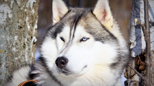 Preview wallpaper dog, eyes, husky, muzzle
