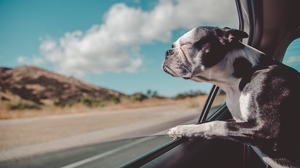 Preview wallpaper dog, french bulldog, look out, travel, window