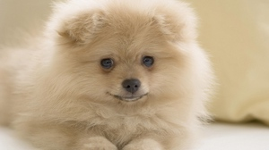 Preview wallpaper dog, face, fluffy, white