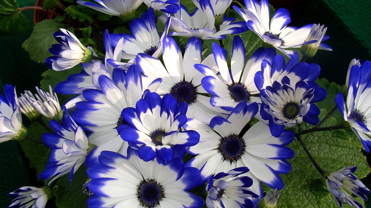flower colorful bright cineraria beauty
