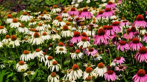 Preview wallpaper echinacea, flowerbed, flowers, pink, white