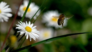Preview wallpaper bee, field, flowers, fly, grass, pollination