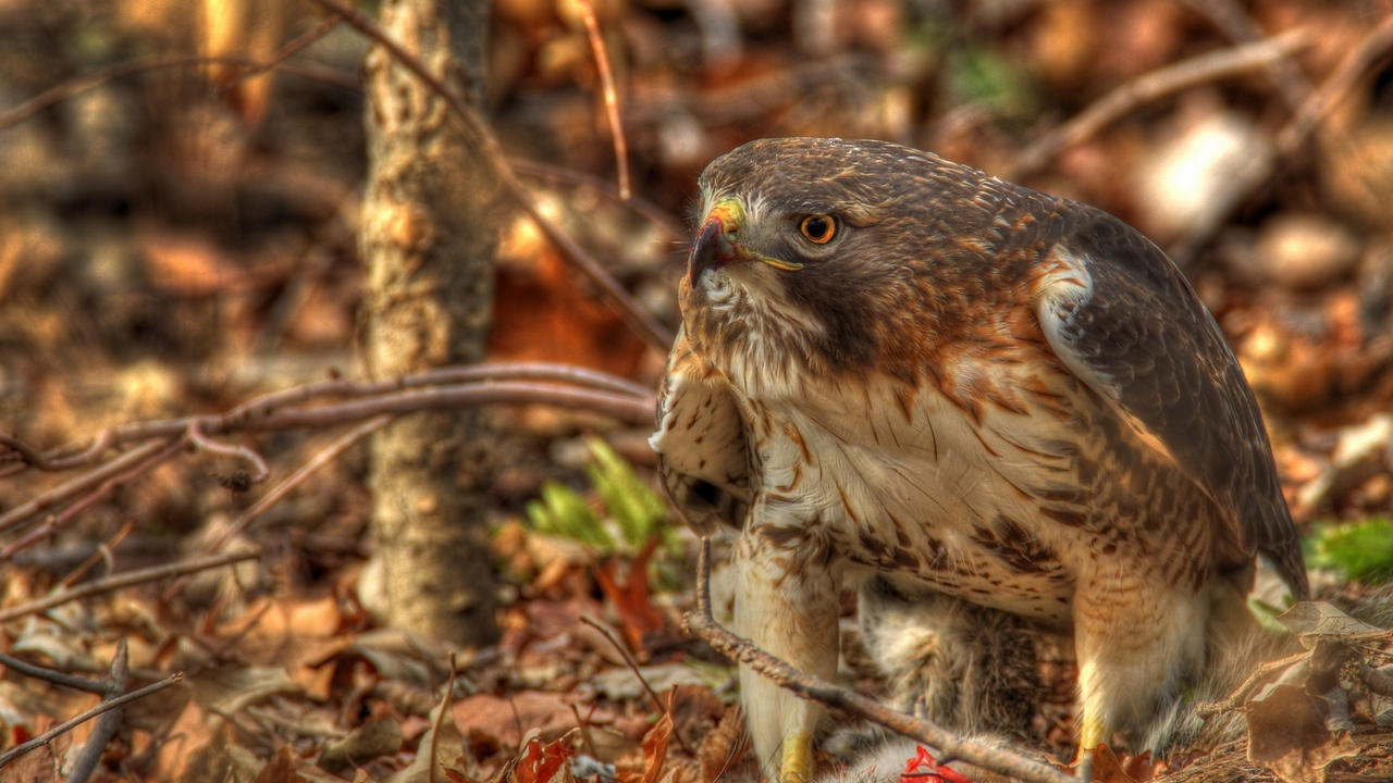 hdr leaves red-tailed hawk hawk predator