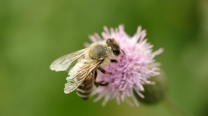 Preview wallpaper bee, flight, flower, insect