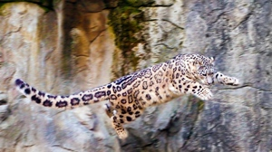 Preview wallpaper big cat, jump, rocks, snow leopard