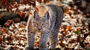 Preview wallpaper autumn, big cat, grass, leaves, lynx