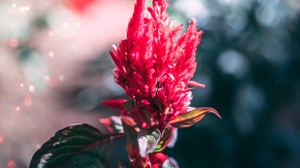 Preview wallpaper flower, inflorescence, macro, plant, red