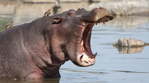 Preview wallpaper angry, hippo, mouth, water
